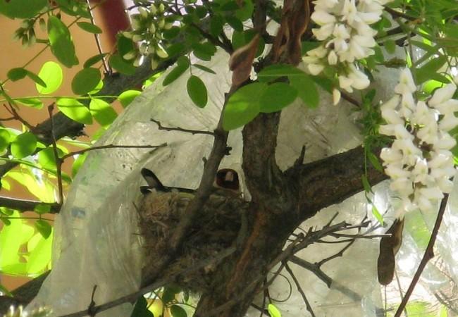 """8:36  Decíamos hace un momento, a las 8:18, abajo, la importancia de la participación de los lectores. Pues bien, aquí tenemos el nido de jilguero que encontró ayer una lectora: """"Querida Mónica: Muy cerca de mi casa, sobre una acacia"""