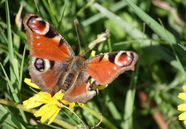 En las galerías subterráneas de los jardines de La Granja está hoy invernando, con las alas cerradas, la mariposa pavo real. Sus alas abiertas son como un campo florecido. Cerradas
