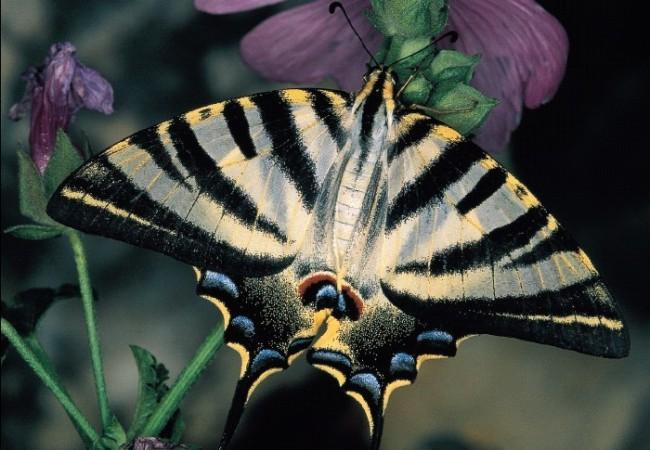 14:10   Como ya anunciamos la semana pasada, vamos a conocer y a reconocer aquí, poco a poco, las especies de mariposas que vuelan por la comarca de Aranjuez, gracias a los profesores J.G Granados, J.L Viejo y C.G. Aizpurua.