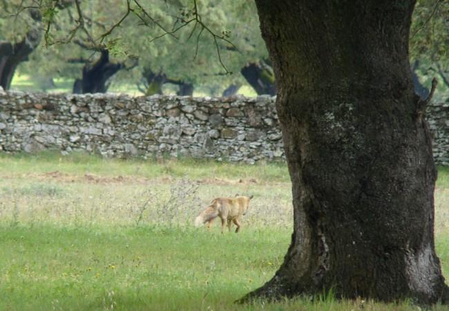 """Como el raposo no podía """"ventearme"""" ya que el aire estaba en su contra, pude acercarme lo suficiente como para poder observarlo durante largo rato."""