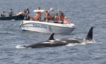 11:08  En los primeros días de mayo se han visto y fotografíado grupos de Orcas frente a la playa y en el canal del puerto de Barbate.