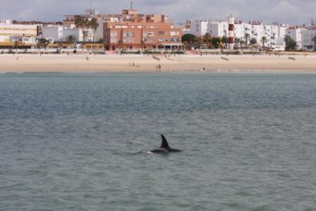 Fotografíadas por Aurelio Morales, vemos a las orcas frente a la playa de Barbate.