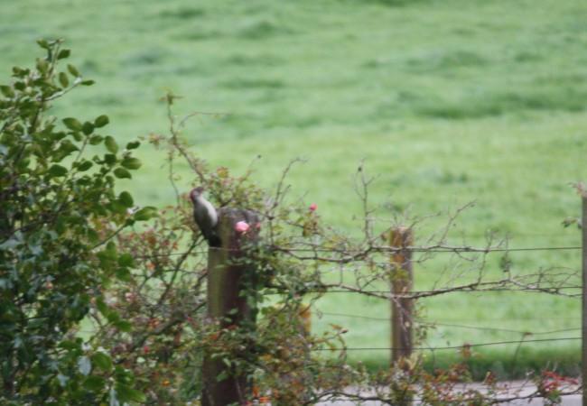 13:18  Antes de salir de casa esta mañana, a eso de las ocho, estaba este pájaro carpintero, que siempre es el mismo, esta vez junto a la valla y el rosal florecido. Casi sin tiempo,