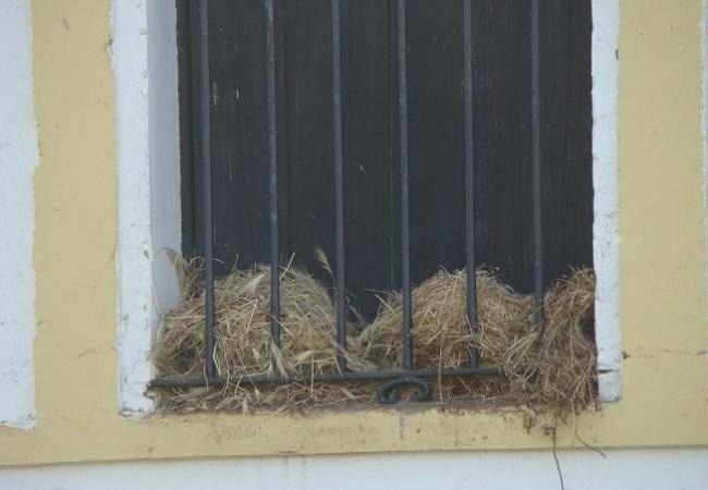 Nidos de gorrión común en la ventana