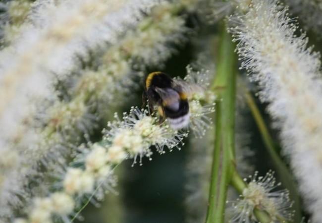 7:02  Ayer por la tarde se llenó la copa del castaño de una nube de abejorros Bombus hortorum