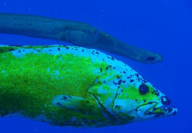"""8:20  Interesantísima y preciosa es la crónica que nos envió ayer por la tarde el submarinista Cristóbal Richart, sobre este curioso pez con un color amarillo que se debe ´""""a una mutación genética, como los tigres albinos"""""""