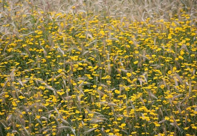 Ni siquiera se el nombre de estas flores amarillas que están avanzando por los sembrados.