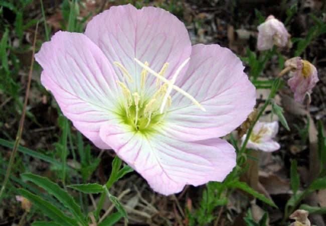 """""""Este género de planta es denominado como hierba o pasto de los asnos y su denominación específica, significa bella, vistosa o hermosa."""" Por Antonio Morcuende Bachiller"""