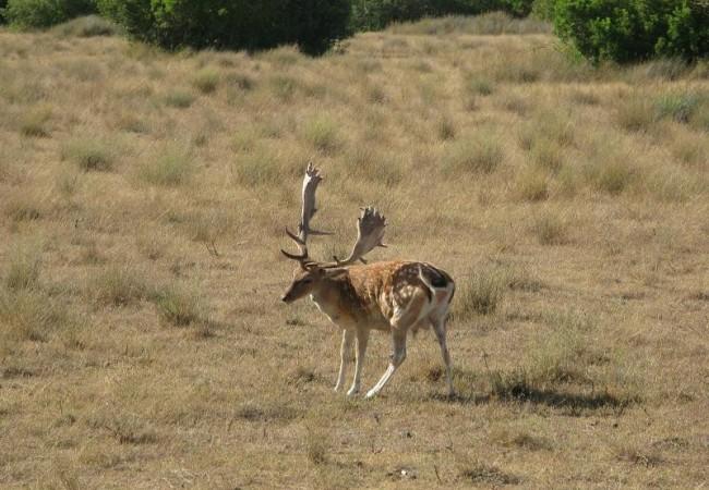 Este gamo fue fotografiado hace unos días por Pilar López en Doñana, donde los ciervos van de noche a la playa.