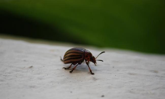 Cada mañana, al abrir la puerta de la casa, encuentro un escarabajo de la patata, ya trepando por el dintel, ya en la piedra del suelo.