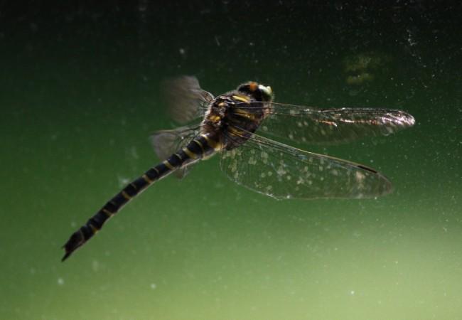 El ruido que hacen las libélulas con las alas es muy sonoro para lo frágiles que parecen: son como la piel de un tambor.