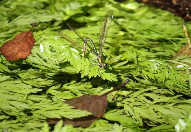 Hembra de Calopteryx splendens poniendo los huevos sobre las hojas laciniadas que peinaba la corriente ayer sobre el río.