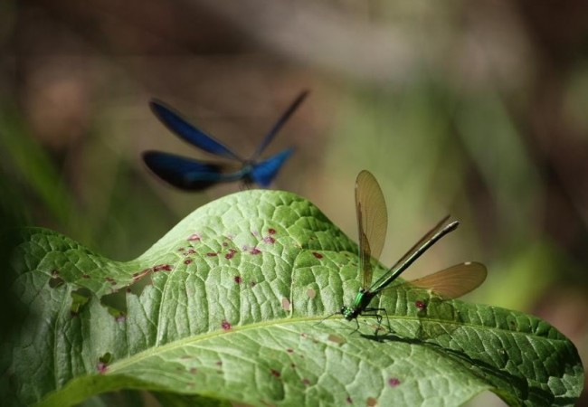 A punto de aterrizar el macho,la hembra del caballito del diablo,espera sobre una hoja de gran superficie, junto al río. Al fondo,las cuatro alas azules del macho en vuelo.