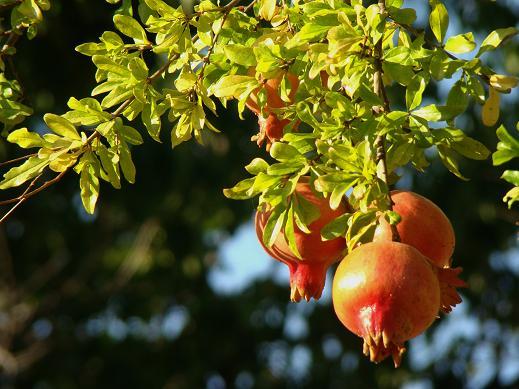 Aunque las granadas se vean ya rojas, no es conveniente recolectarlas demasiado pronto, pues se arrugan, así que lo mejor es dejarlas aún en el árbol.             Juan Carlos Delgado Expósito