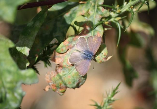 Hay mariposas parecidas a ésta cuyas orugas viven una temporada, tras alimentarse de tomillo, dentro de los hormigueros.