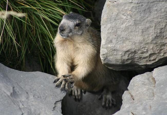 VEA AHORA AQUÍ EL VIDEO DE LA MARMOTA ALPINA por cortesía del Parque Nacional de Ordesa y Monte Perdido donde se escucha la voz de la marmota, que a mi me ha recordado,