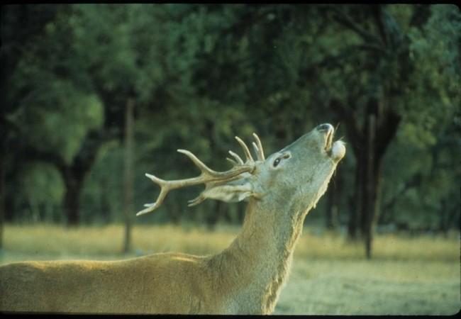 Este venado ha sido fotografíado por Juan Carlos Grande Miguel, y nos lo enviaron ayer desde el Centro de Documentación del Parque Nacional de Monfragüe.