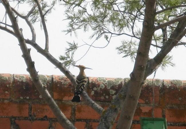 Me dio la impresión de que se veían más aves, aunque hizo un día de mucho calor: abubillas, cogujadas picoteando en el rastrojo, tarabillas, mosquiteros, estorninos, verderones, un mochuelo que escuché al atardecer, garcillas que volaban hacia su dor