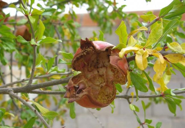 Son numerosas las aves como los zorzales y los mirlos que pican la fruta en la rama sin llegar a tirarla al suelo, y así fotografió esta granada, o lo que queda de ella, Pilar López, pero en cualquier frutal donde ahora miremos