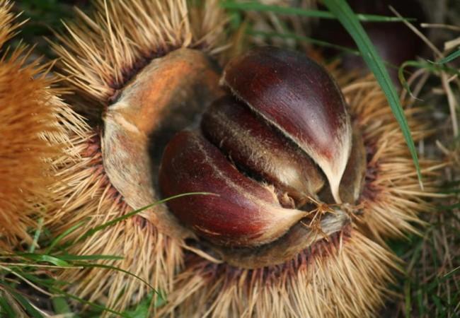 En cada erizo viven tres semillas, tres castañas abrazadas, y cada una tiene su sitio.