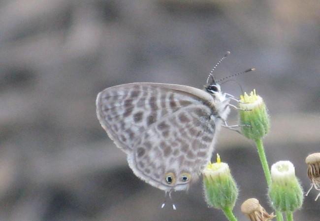 Libando de las pequeñas flores blancas de los cenizos, hallé otra especie de mariposa, había varios individuos revoloteando, muy pequeños e inquietos.