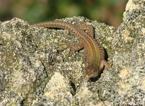 En estos muros, especialmente en los orientados al Este, por la mañana se soleaban las salamanquesas y las lagartijas italianas (Podarcis simula),