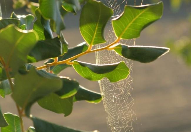 El algarrobo también ha florecido y entre sus hojas hay multitud de telarañas.                        Pilar López