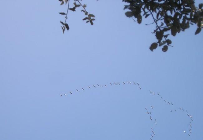 Buenas de nuevo. Ayer me dijeron desde el centro de interpretación de Villafáfila que saben qué bandadas de ánsares van llegando porque, al acercarse, vuelan todavía muy alto. Los que llevan ya unos días, vuelan a ras del agua.
