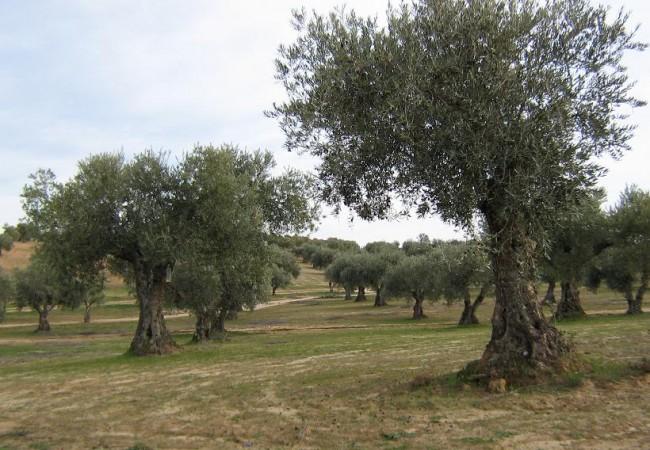 Las vides y los olivos