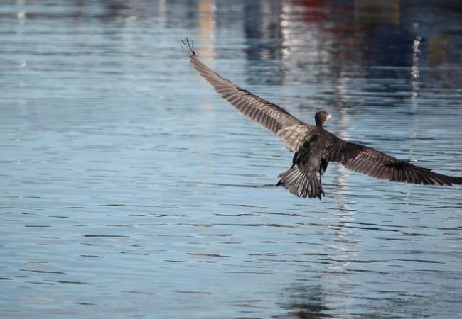 Buenas de nuevo. Aunque haga calor, la Naturaleza sigue sus ciclos, que dependen más del número de horas de luz que de la temperatura, y de ahí que ayer, ya hubiera cormoranes en los puertos, y alcatraces en la costa.