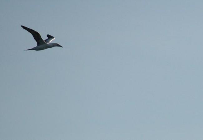 Alcatraz en vuelo. Parece un ejemplar joven, pues aún no tiene la punta de las alas negras, como si las hubiera mojado en un tintero.