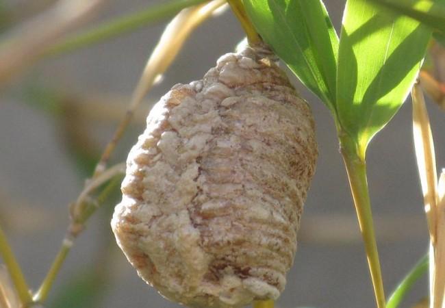 Como última cosa que comentar, hallé entre las ramas de las cañas y en lo alto de la rama de un peral, una especie de estructura redondeada que me parece la ooteca de algún insecto que no logro identificar.  Pilar López.