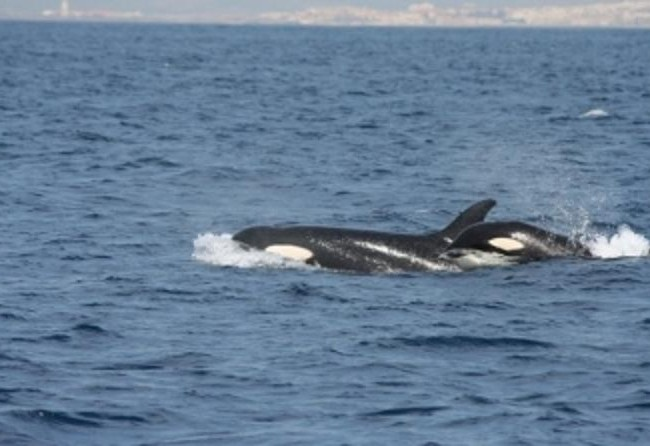 Buenas de nuevo. Gracias al biólogo Juan Manuel Salazar, supimos que es habitual la presencia de orcas en el estrecho de Gibraltar, donde es corriente