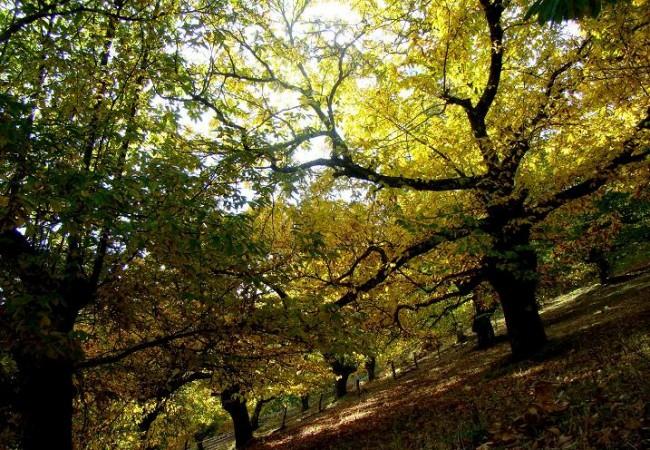 Una de mis aventuras naturalisticas de este fin de semana, ha sido adentrarme en los bosques de castaños en la Sierra de Tentudía, al Sur de la provincia de Badajoz.                  Juan Carlos Delgado Expósito