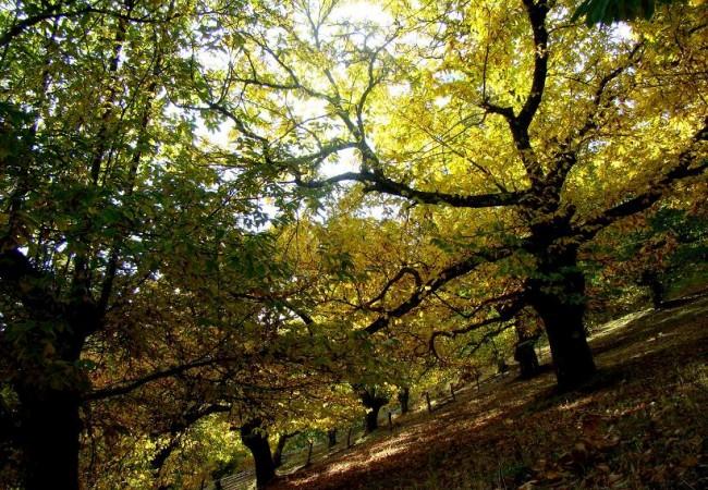 Buenas. El árbol, antes de tirar las hojas, trata de romper la verde clorofila y una vez