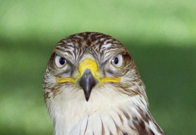 Buenos días. Nos ha enviado Kaiko esta fotografía de un águila que a mí me parece un águila perdicera Hieratus fasciatus.