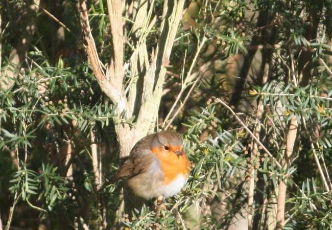 Para mí no hay pájaro más fotogénico que el petirrojo, como este que anteayer esponjaba las plumas, de frío, al sol, frente a mi ventana.
