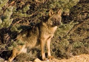 Lobo salvaje en la sierra de la Culebra/ Vicente Matellán