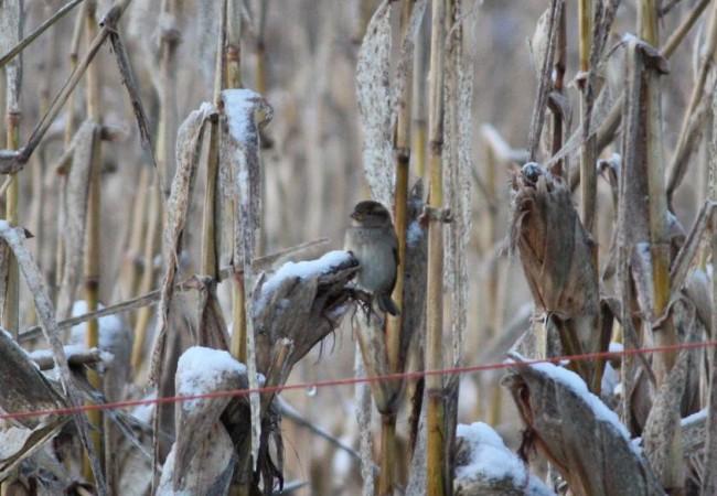 Como si la tierra se hubiera enfriado también en sus entrañas, he visto erizos y topos muertos de frío estos días, y a los pájaros, desesperados, buscando en los carozos del maizal algún grano