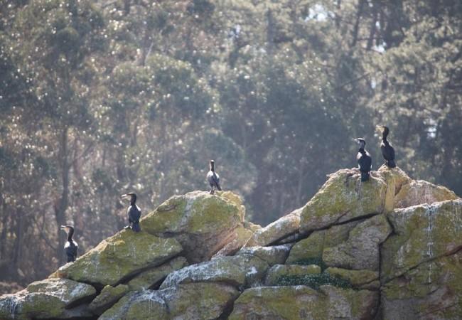 Aunque estos días he visto erizos muertos de frío sobre la nieve, han empezado a hacer su nido los cormoranes,