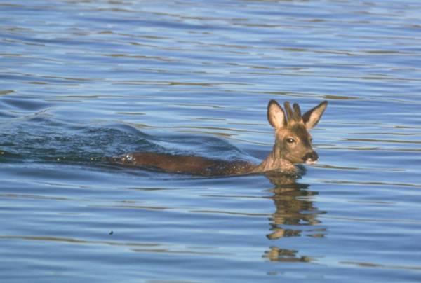 Corzo nadando, por Wifredo Román