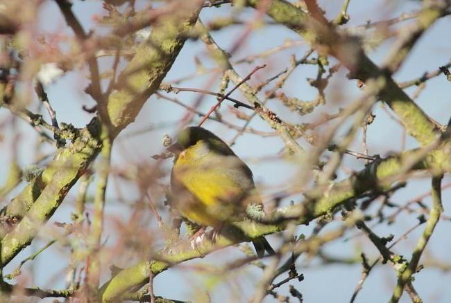 No estoy segura de si este pájaro que fotografié hace dos días entre las ramas de un ciruelo, es un lúgano (Carduelis spinus).