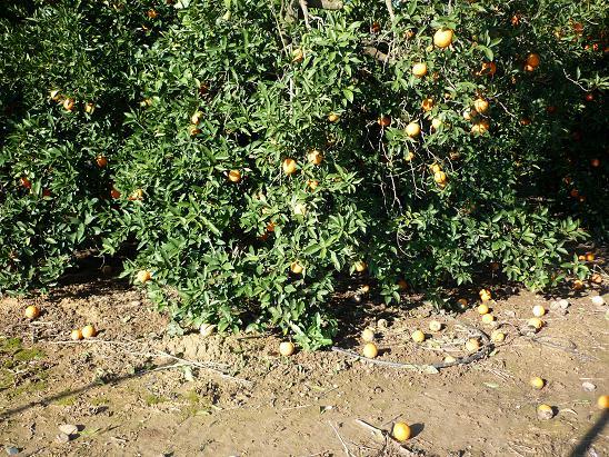 Quizás los olivos y los naranjos, entre los cultivos arbóreos, y las fresas, entre los herbáceos, sean los que más están sufriendo los efectos del temporal.