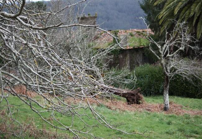 17:55 Dando esta mañana un paseo, me he encontrado con varios árboles caídos, y entre ellos este viejísimo frutal lleno de líquenes amarillos y verdeazules.