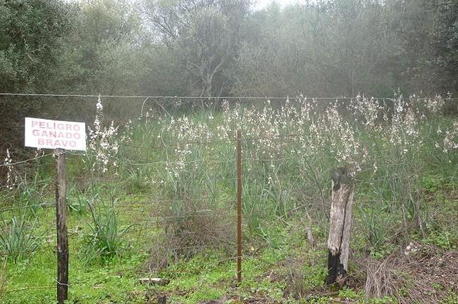 Hace unos días te hablaba de los gamones. He aquí un magnífico gamonal en plena floración.