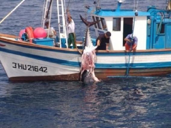 Bocado de orca en un atún rojo