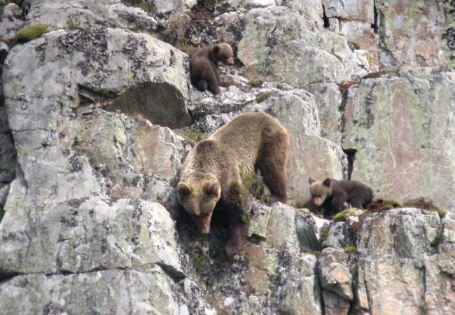 Acabamos de enterarnos y nos parece una maravilla que la Fundación Oso Pardo haya abierto sus propios canales de video para presentar documentos audiovisuales relacionados con el seguimiento y la conservación de los osos cantábricos.