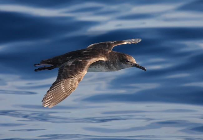 """Barcelona (16/03/10) SEO/BirdLife y la Fundación Biodiversidad han organizado los días 15 y 16 de marzo un Taller sobre Aves Marinas para expertos dentro del proyecto LIFE +  INDEMARES """"Inventario y designación de la Red Natura 2000 en áreas marinas"""