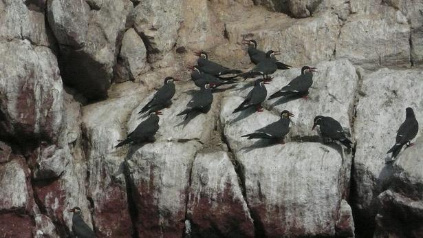 Charranes Incas (Zarcillos) en las islas Ballestas (Perú), hace unos días, fotografiados por Luis Javier Rodríguez de Mena.