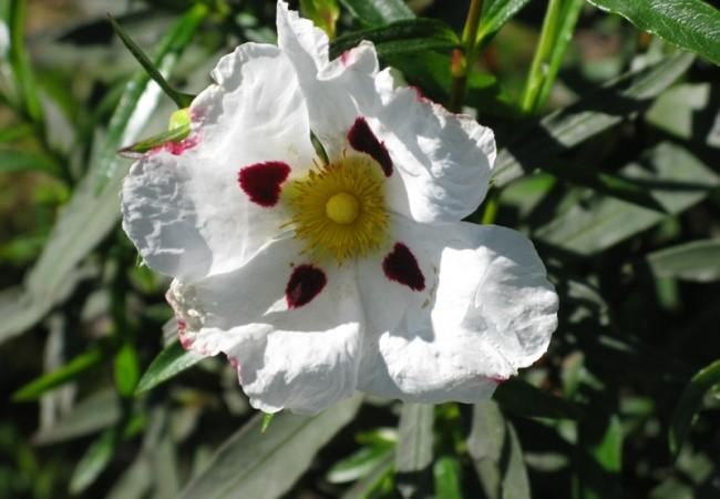 Las flores de la jara tienen manchas rojas sobre los pétalos blancos, como manchas de sangre, o de tinta de amapolas.